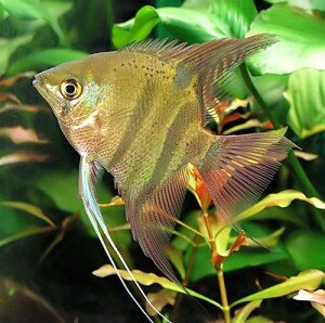 leopold angelfish picture