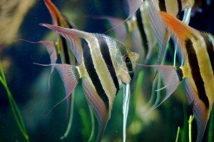 Pterophyllum_Altum angelfish picture